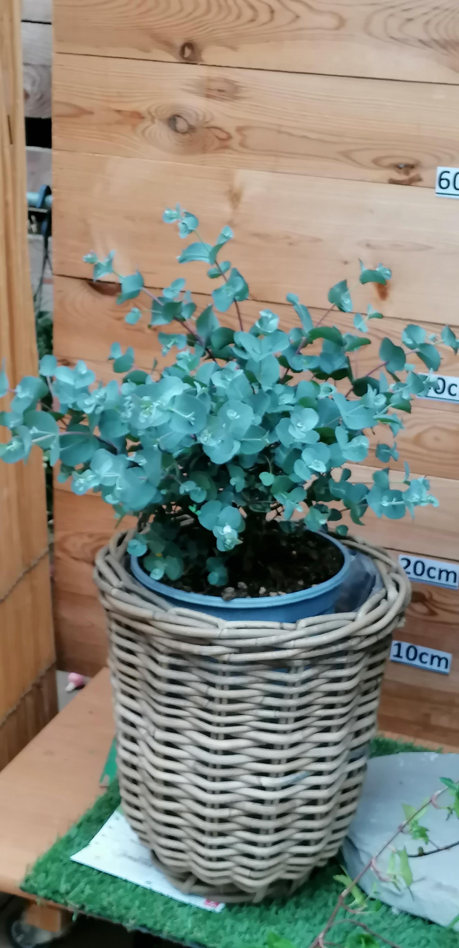 Eucalyptus Busch