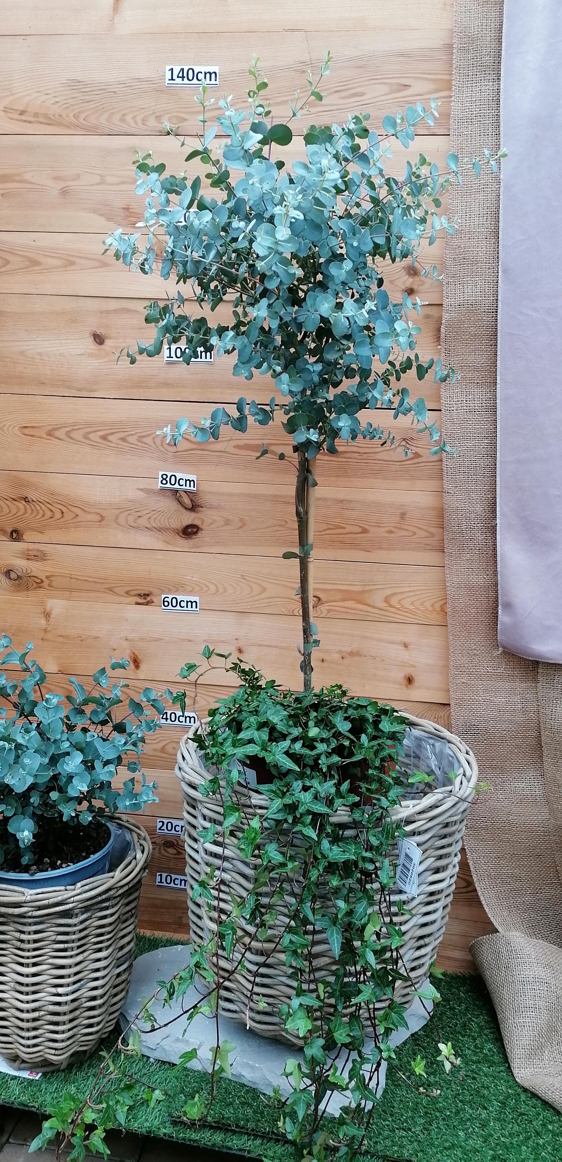 Eucalyptus Stamm