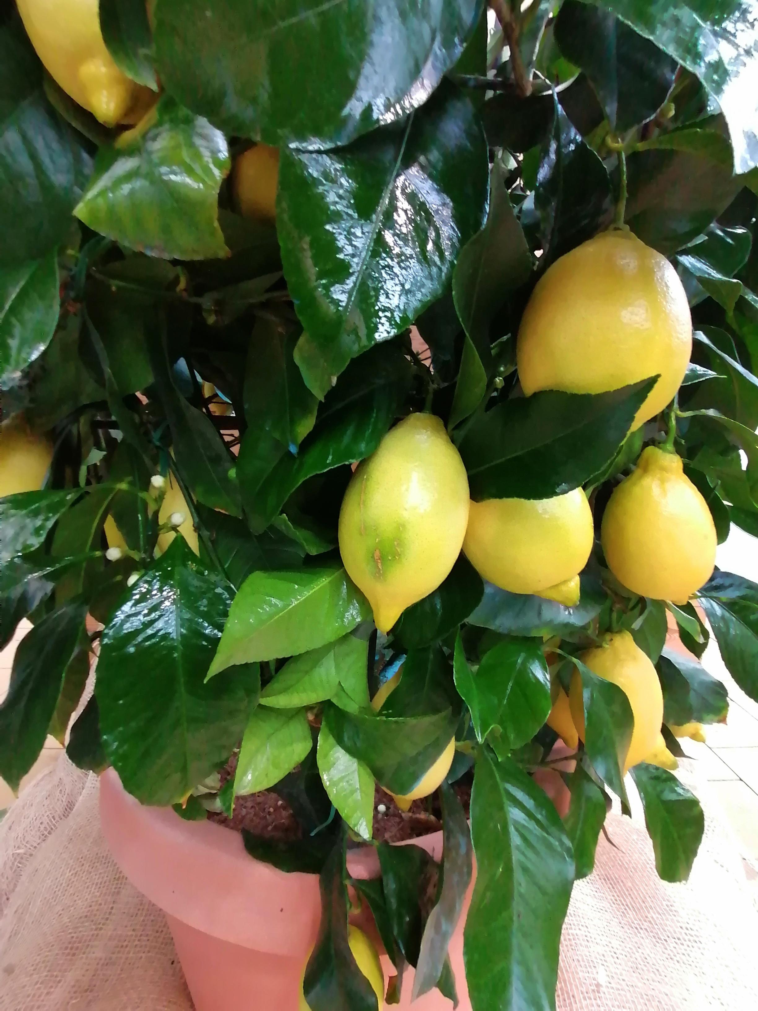Zitronen- Rundspalier