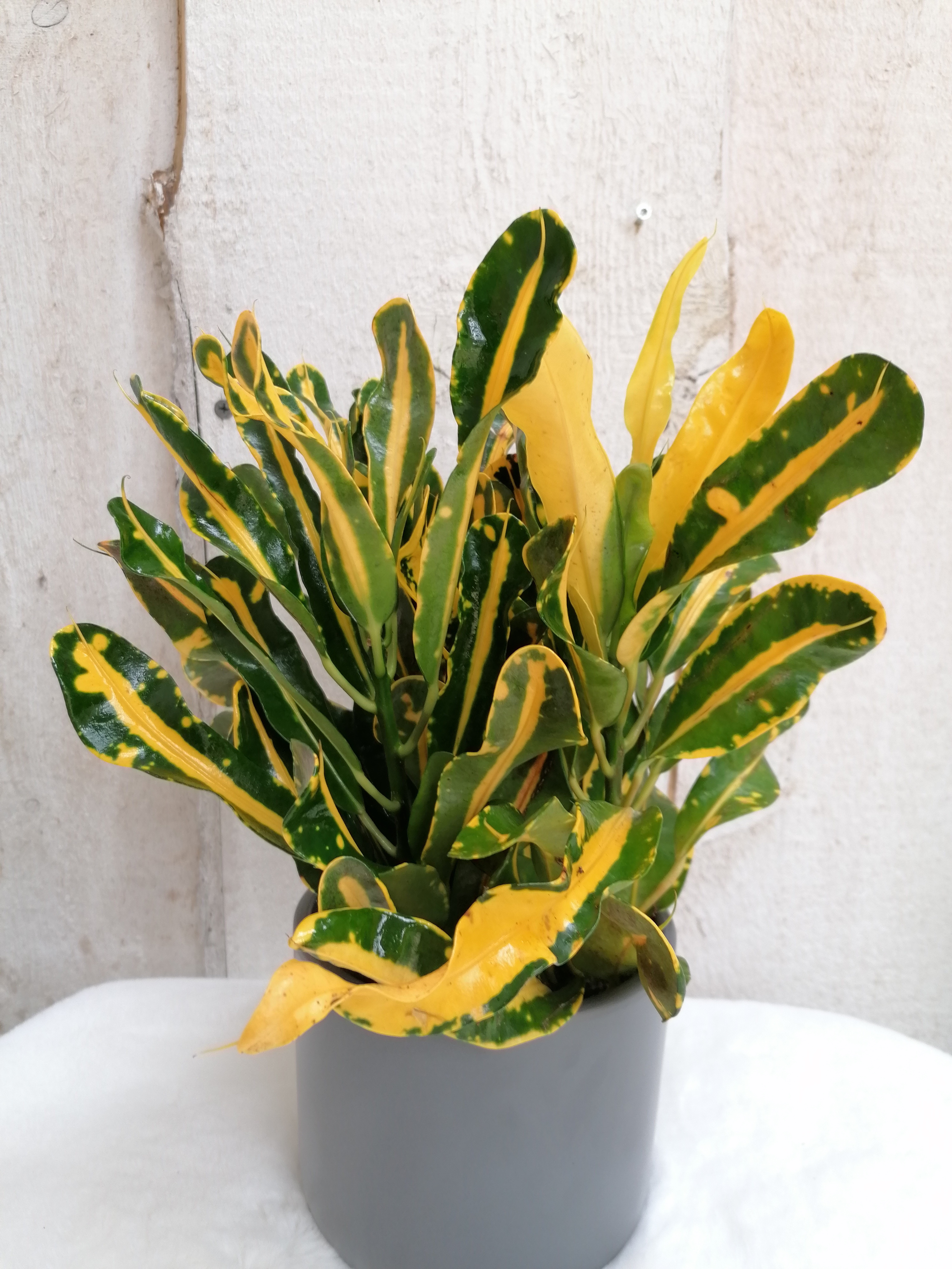 Croton Yellow
