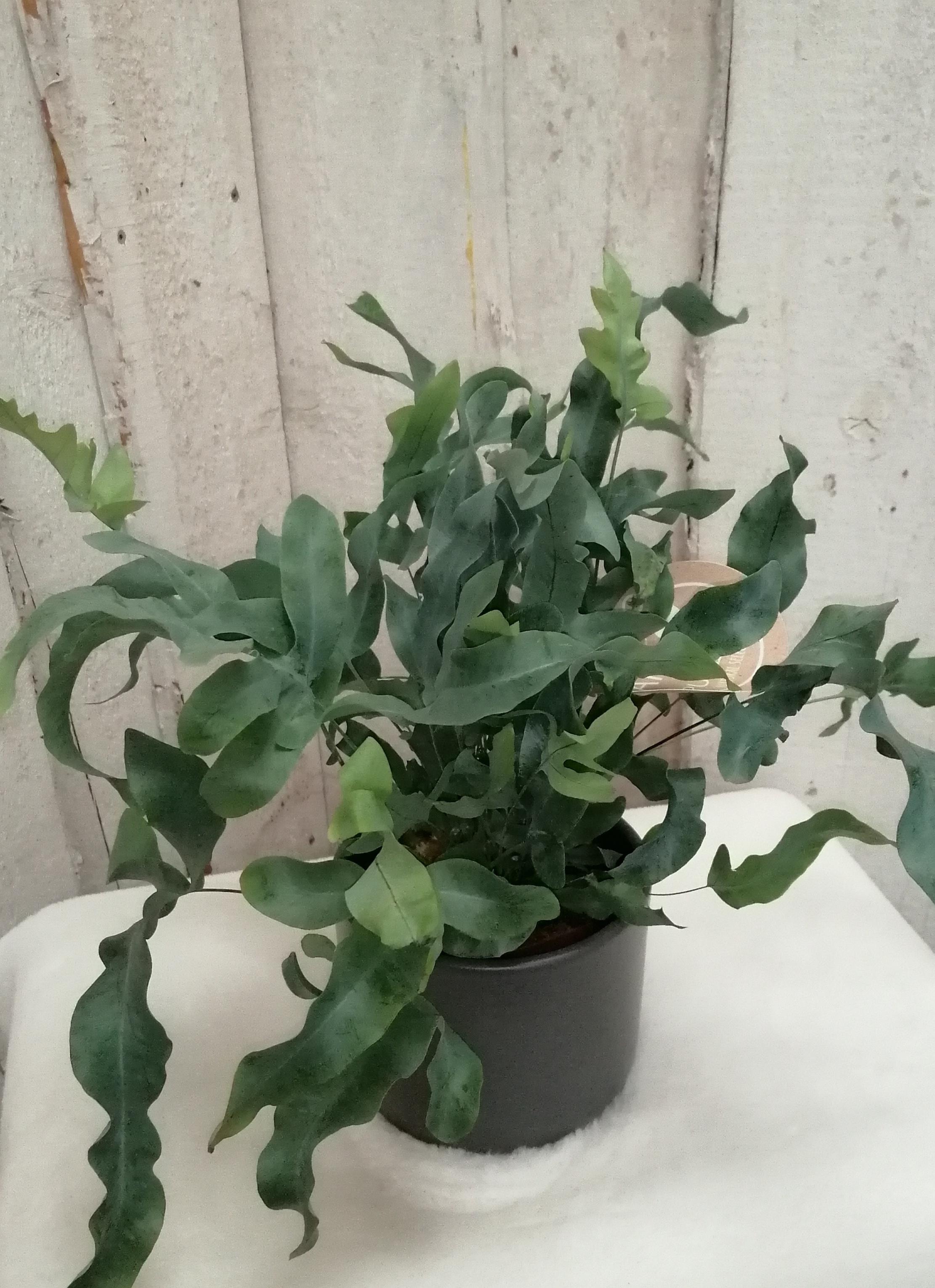 Farn Phlebodium blue